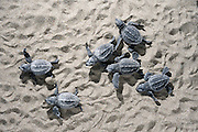 In the first rays of the rising morning sun the last emerging hatchlings of the Loggerhead Sea Turtle (Caretta caretta) have to rush over the beach to reach the ocean before being eaten by a ghost crab or becoming overheated. | Unechte Karettschildkröte (Caretta caretta)