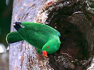 Male Eclectus parrot at nest cavity.