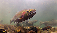 Steelhead<br />