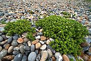 Sea Sandwort, Honckenya peploides, growing on pebble beach, Sandwich Bay, Kent UK- Kent Wildlife Trust, native, succulent, perennial herb
