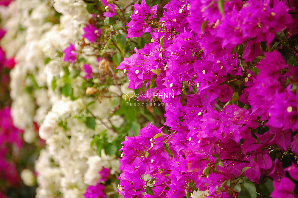Flowers and trees found in the Bahamas, vibrant colors, fruits