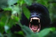 A black-backed mountain gorilla (Gorilla beringei beringei) yawns as it prepares to take a nap, Park de Volcanoes ,Rwanda