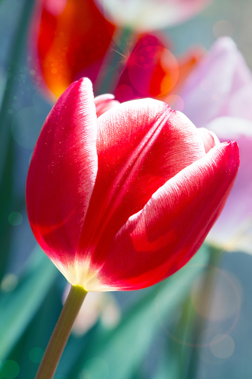 A Soft Red Tulip In Early Morning Light Brings A Smile From The Garden