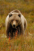 Grizzly Bear (interior Alaska), Ursus arctos; closeup, autumn, alpine tundra, hibernates in winter, Denali National Park, Alaska.