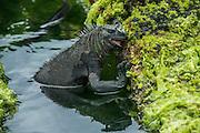 Marine Iguana (Amblyrhynchus cristatus) Feeding<br /> Espinosa Point<br /> Fernandina<br /> Galapagos<br /> Ecuador, South America<br /> ENDEMIC TO THE ISLANDS