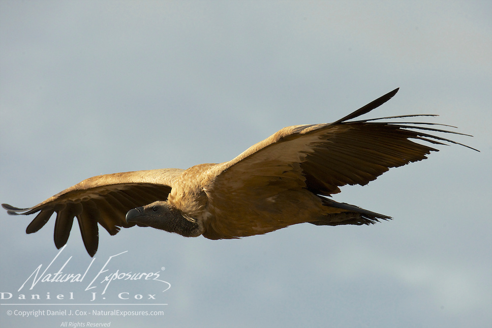 White-backed Vulture, flying in to a carcass, Malamala Game Reserve, South Africa.