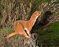 Weasel Mustela nivalis Length 25-40cm Active predator of voles and mice. Has a long, sinuous body and recalls a tiny Stoat except for shorter tail of uniform colour, not black-tipped. Adult has orange-brown upperparts and sides, and white underparts, including throat; note the clear demarcation between the two colours. Male is larger than female. Utters high-pitched hisses in alarm. Widespread and fairly common in a range of habitats including woods, hedgerows and scrub; absent from most islands and Ireland.