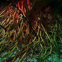 Kelp forest photograph, Macrocystis pyrifera, Southern California