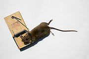 A dead mouse caught in a little nipper domestic mouse trap, Folkestone, Kent.