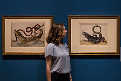 """Colourful illustrations that brought the wonders of South America to Europe in the early 18th century are going on display in a new exhibition opening at The Queen's Gallery, Palace of Holyroodhouse tomorrow (Friday, 17 March). Marking the 300th anniversary of the death of intrepid German artist and scientist Maria Sibylla Merian, Maria Merian's Butterflies brings together some of the finest images of the natural world ever made, with more than 50 works going on display in Scotland for the first time.<br /> <br /> Among the works on display are luxury versions of the Metamorphosis plates, which were partially printed and then hand-painted onto vellum. The images were acquired by George III for his scientific library in Buckingham House (later Buckingham Palace) and are today part of the Royal Collection.<br /> <br /> Pictured: Royal Collection Member of Staff between """"Spectacled Caiman (Caiman crocodilus) and a False Coral Snake (Anilius scytale)"""" and """"Black Tegu Lizard (Tupinambis teguixin)"""""""