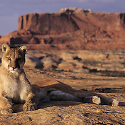 Mountain Lion (Felis concolor) in the canyonlands of southern Utah's red rock country. Captive Animal