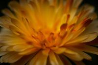 Close up of a yellow Gerbera.