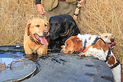 Hunting dogs drinking from a stock tank during a warm weather pheasant hunt in eastern South Dakota.