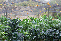 The brassica bed at Rousham House with Kale 'Cavalo Nero' and Curly Kale 'Dwarf Green Curled' protected by netting cage