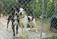 """""""Tony"""" and """"Stark"""" have found safe haven at the NH Humane Society Monday morning after being taken in over the weekend.   (Karen Bobotas/for the Laconia Daily Sun)"""