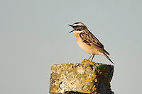 Whinchat (Saxicola saxicola) adult male singing from songpost. Lithuania, May 2009. Mission: Lithuania