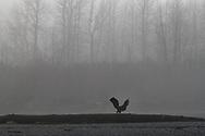 A bald eagle lands on a log in the Chilkat Bald Eagle Preserve in Haines, Alaska
