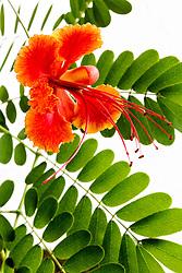 Pride of Barbados tree, caesalpinia pulcherrima #16