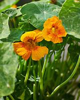 Nasturium Flower. Image taken with a Nikon D850 camera and 70-300 mm VR lens.