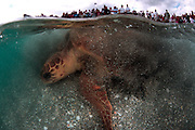 1st Pace; 2006 National Wildlife Photography Awards Competition (Connecting People with Nature pro category); Rehabilitated Loggerhead Turtle released by volunteers in front of crowd in Juno Beach, FL.