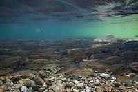 Chub (Squalius cephalus)<br /> On spawning ground, Sava river, Slovenia<br /> Alet oder Döbel (Squalius cephalus)<br /> Auf Laichgrund, Sava, Slowenien<br /> Chevaine (Squalius cephalus)<br /> Sur frayère, Sava, Slovénie<br /> 16-06-2009