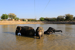 May 7, 2017 - Jaipur, Rajasthan, India - Elephants cool off themselves in a pond to beat the heat during the hot summer day at Elephant Village in Jaipur,Rajasthan, India 07 May,2017.Heat wave conditions prevailed in Rajasthan as day temperatures hovered between 41 and 47 degrees Celsius at various places of states . Elephant village only made for elephants and their owner & care takers .More than 125 elephants lives in this village mostly famous for tourists attraction and elephant ride at Amer Fort also.(Photo By Vishal Bhatnagar/NurPhoto) (Credit Image: © Vishal Bhatnagar/NurPhoto via ZUMA Press)