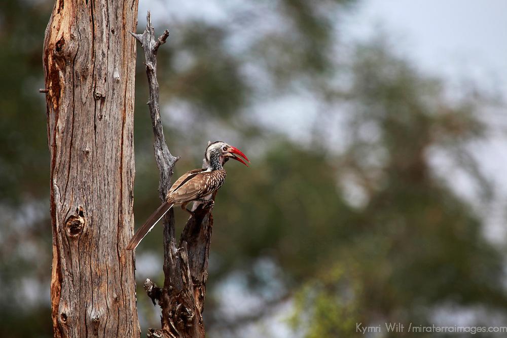 Africa, Zimbabwe, Victoria Falls. Bradfield's Hornbill.