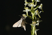 The shark moth (Cucullia umbratica) nectaring on Greater Butterfly Orchid (Platanthera chlorantha). Sussex, UK.