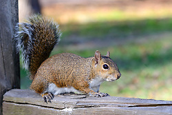 Sciurus carolinensis, Grauhoernchen, Eichhornchen, eastern gray squirrel, Ginnie Spring, High Springs, Gilchrist County, Florida, USA, United States