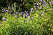 Alpine bellflower wildflower, Campanula scheuchzeri, in meadow in the Swiss Alps near Zermatt, Switzerland