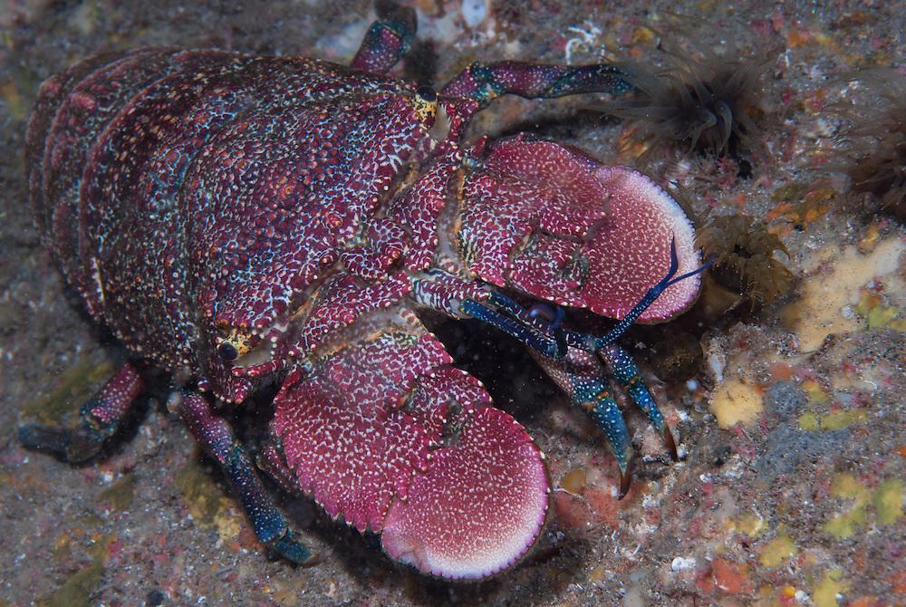Kermadecs Marine Reserve, Spanish Lobster, Arctides antipodarum