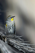 Photographs of Warblers in Southern California