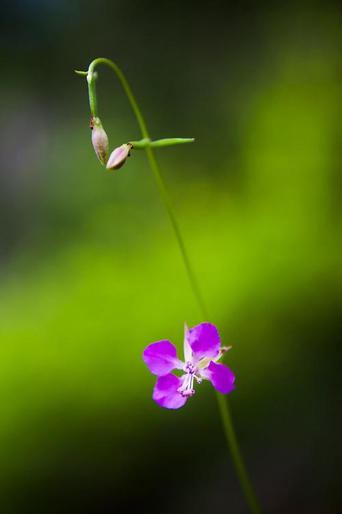 Tiny ants climb the stem of a flower growing along Monument Creek Trail, Okanogan National Forest, Washington.