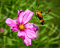 Clearwing Hummingbird Moth approaching a Pink Cosmos wildflower. Backyard summer nature in New Jersey. Image taken with a Fuji X-T2 camera and 100-400 mm OIS telephoto zoom lens (ISO 200, 400 mm, f/5.6, 1/850 sec).