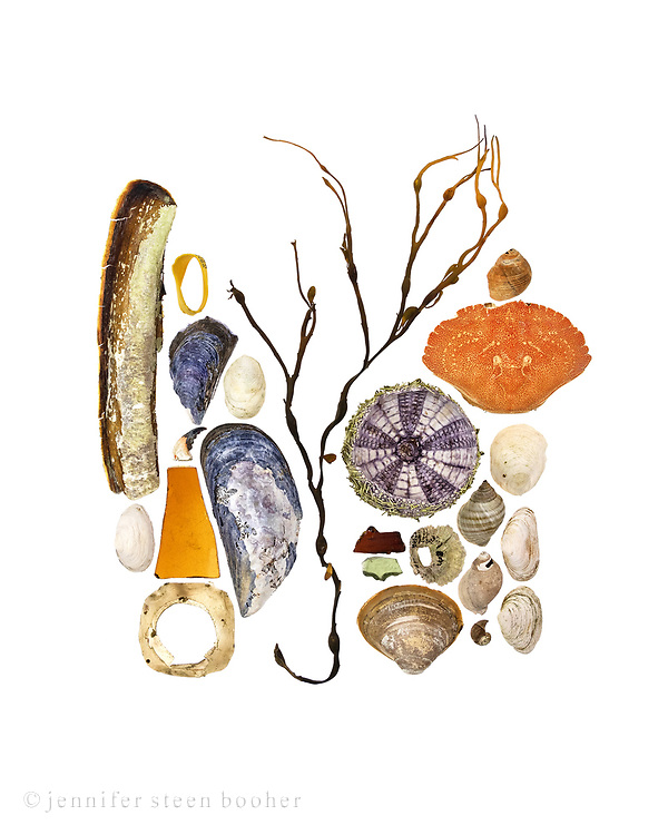 Top to bottom, left to right: Razor clam (Ensis directus), Soft shelled Clam (Mya arenaria), lobster claw band, Blue Mussel (Mytilus edulis), partial crab claw, broken glass, plastic scrap, Slipper Shell (Crepidula fornicata), Blue Mussel, Rockweed (Ascophyllum nodosum), Green Sea Urchin (Strongylocentrotus drobachiensis), broken glass, Northern Rock Barnacle (Semibalanus balanoides), Quahog (Mercenaria mercenaria), Common Periwinkle (Littorina littorea), Rock Crab (Cancer irroratus), Slipper Shell, Dog Whelk (Nucella lapilus), Periwinkle, Soft Shell Clam, Quahog