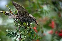 Bialystok, 17.10.2020. Szpak zwyczajny (Sturnus vulgaris) na drzewie jarzebiny fot Michal Kosc / AGENCJA WSCHOD