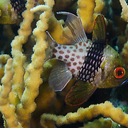 Pajama cardinalfish (Sphaeramia nematoptera) in branching coral; Budlaan Island, Danajon Bank, Bohol, Philippines © Michael Ready / iLCP
