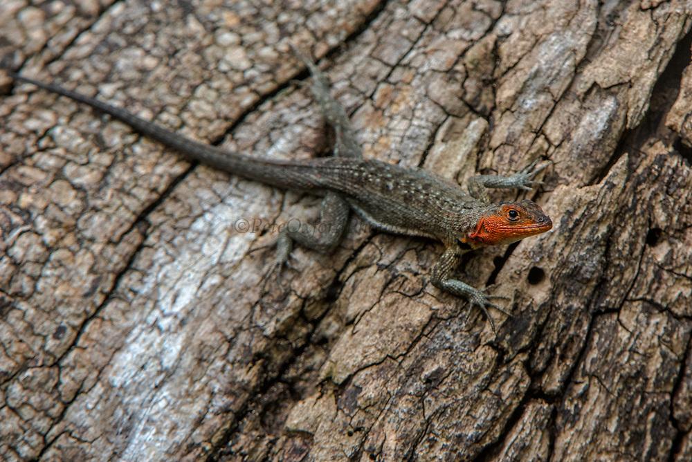 Lava Lizard (Microlophus albermarlensis)<br /> Isabela Island, <br /> GALAPAGOS,  <br /> Ecuador, South America<br /> endemic