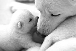 """O Akita é uma raça de cães originária do Japão. O nome foi dado em relação à província de Akita, de onde a raça é considerada originária. """"Inu"""" significa cão em japonês, e muitas vezes o animal é referido como """"Akita-ken"""" (um trocadilho, pois a palavra """"província"""" é pronunciada """"ken"""" em japonês)."""
