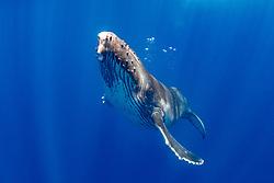 A Humpback Whale calf, Megaptera novaeangliae, makes a very close approach. Moorea, French Polynesia, Pacific Ocean