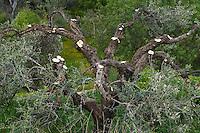 An Olive Tree (Olea europea), Kritsa, Crete
