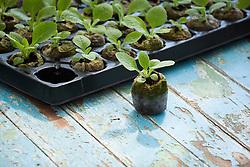 Coir jiffy plugs and seed trays. Seedlings of Digitalis purpurea 'Alba' - foxgloves