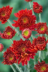 Chrysanthemum 'Littleton Red'