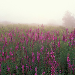 Portsmouth, NH.  A field of Purple Loosestrife, Lythrum salicaria...