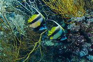 Red sea banner fish  (Heniochus intermedius)