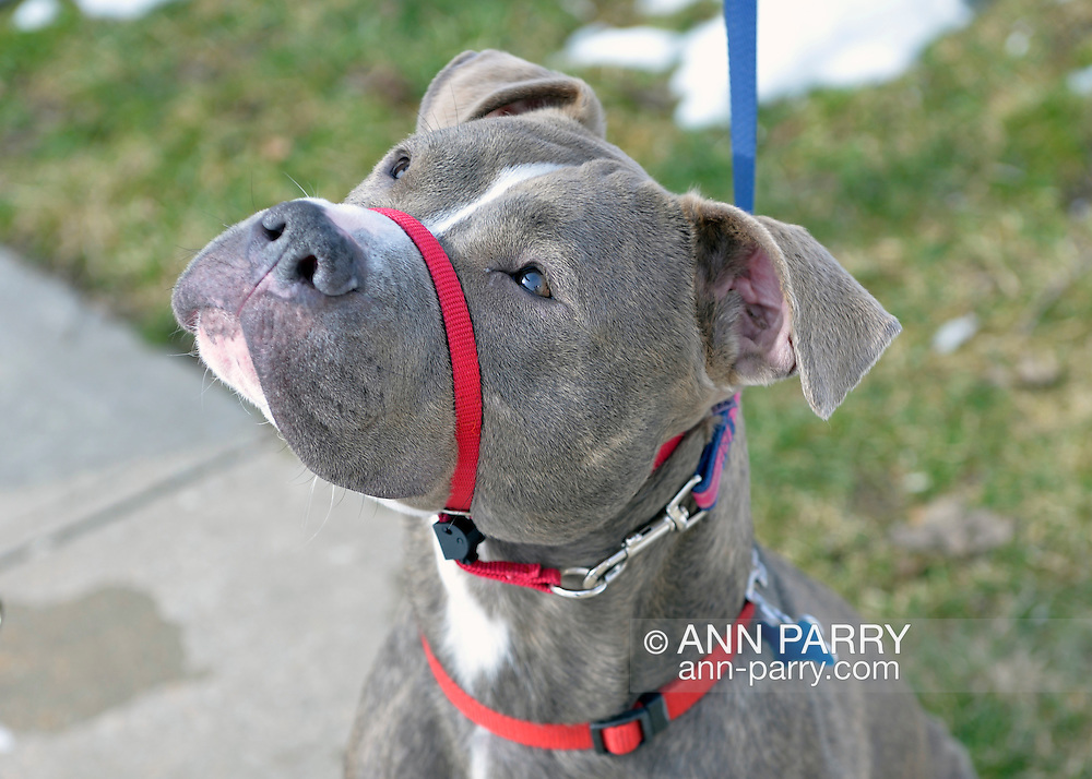 Wantagh, New York, USA. February 7, 2016. Ford, a friendly gray pit mix who is available for adoption, wears a red head halter during his walk during Last Hope Animal Rescue's Open House during Hallmark Channel Kitten Bowl III. The center's guests watched the feline football games on TV and cheered for their team, the Last Hope Lions. Over 100 adoptable kittens from Last Hope Inc and North Shore Animal League America participated in the games for the 2016 championship, which first aired the day of Super Bowl 50.