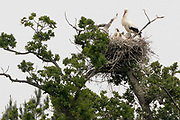 White stork (Ciconia ciconia) nest in oak tree. Sussex, UK.