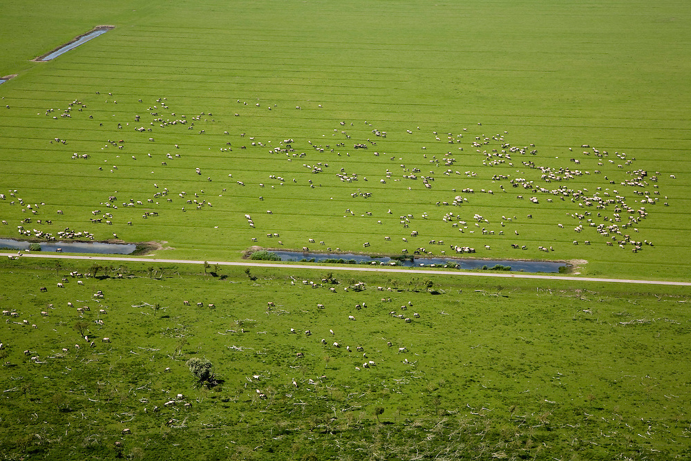 Nederland, Flevoland, Oostvaardersplassen, 14-07-2008; Natuurgebied met grazende kuddes Koniks; Koninkspaarden, Konink, Konikpaarden, grazen, kudde.Staatsbosbeheer, habitat, plassen, grasland, wetland, moeras, vogeltrek, trekvogel, overwintering, marshland. .luchtfoto (toeslag); aerial photo (additional fee required); .foto Siebe Swart / photo Siebe Swart
