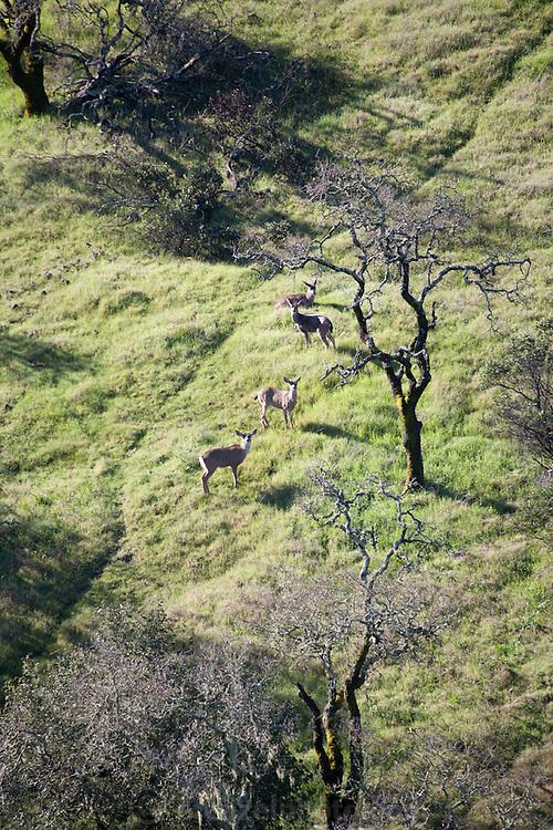 Dorji barking at deer, Napa Valley, CA