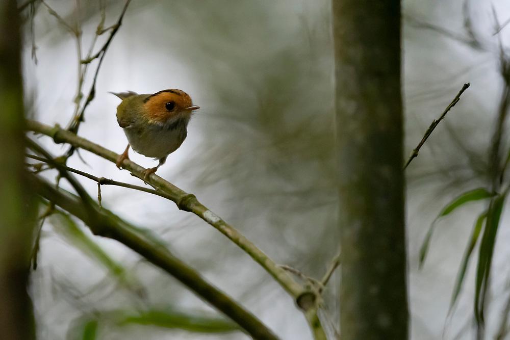 Rufous-faced Warbler (Abroscopus albogularis) in Bamboo thicket, Taiwan